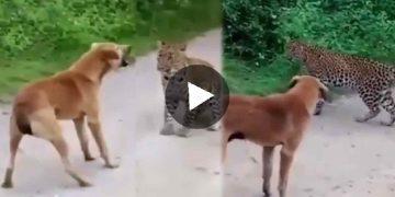 Viral Video ভাইরাল ভিডিও Cheetah Scared by Dog