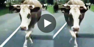 ভাইরাল ভিডিও Viral Video of Cow Catwalk