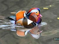 Mandarin Duck in Aasam