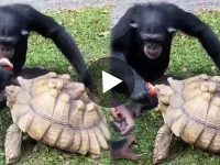 Viral Video Chimpanzee Shares Apple with friend Turtle
