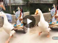 Swan Pulling Swaraswati Cart ভাইরাল ভিডিও Viral Video