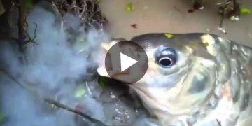 Fish Smoking Viral Video