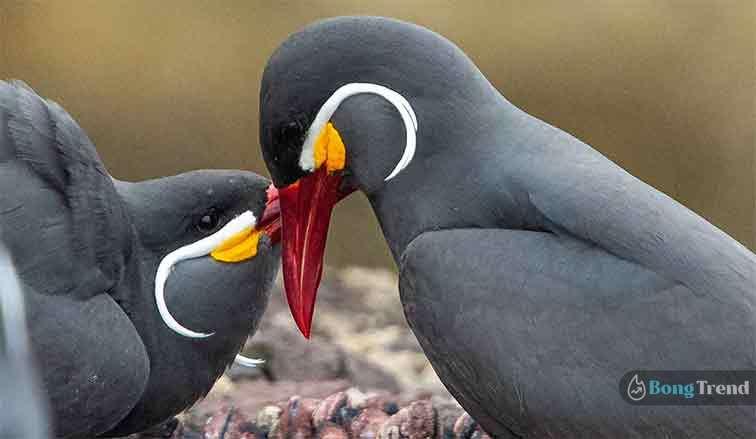 Inca Tern bird with moustache