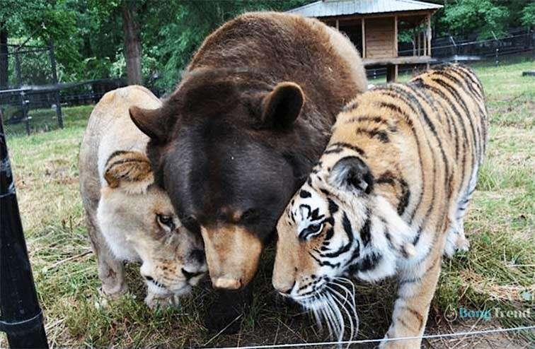 Lion Bengal Tiger Bear friends