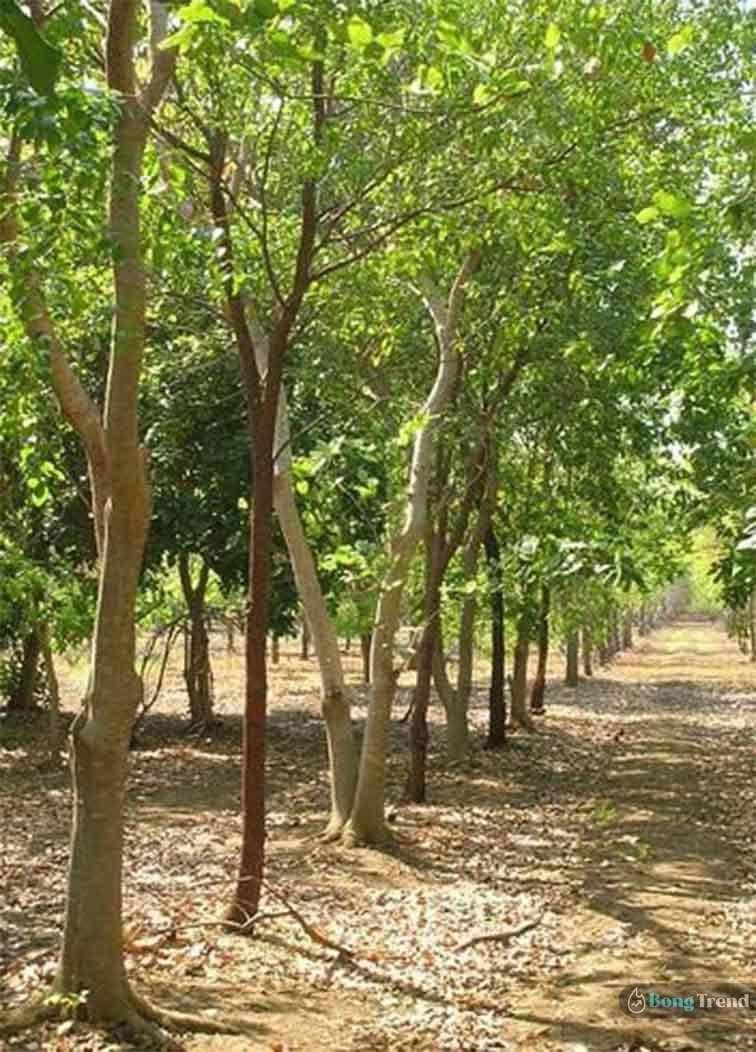 চন্দন কাঠ চাষ Sandalwood Cultivation