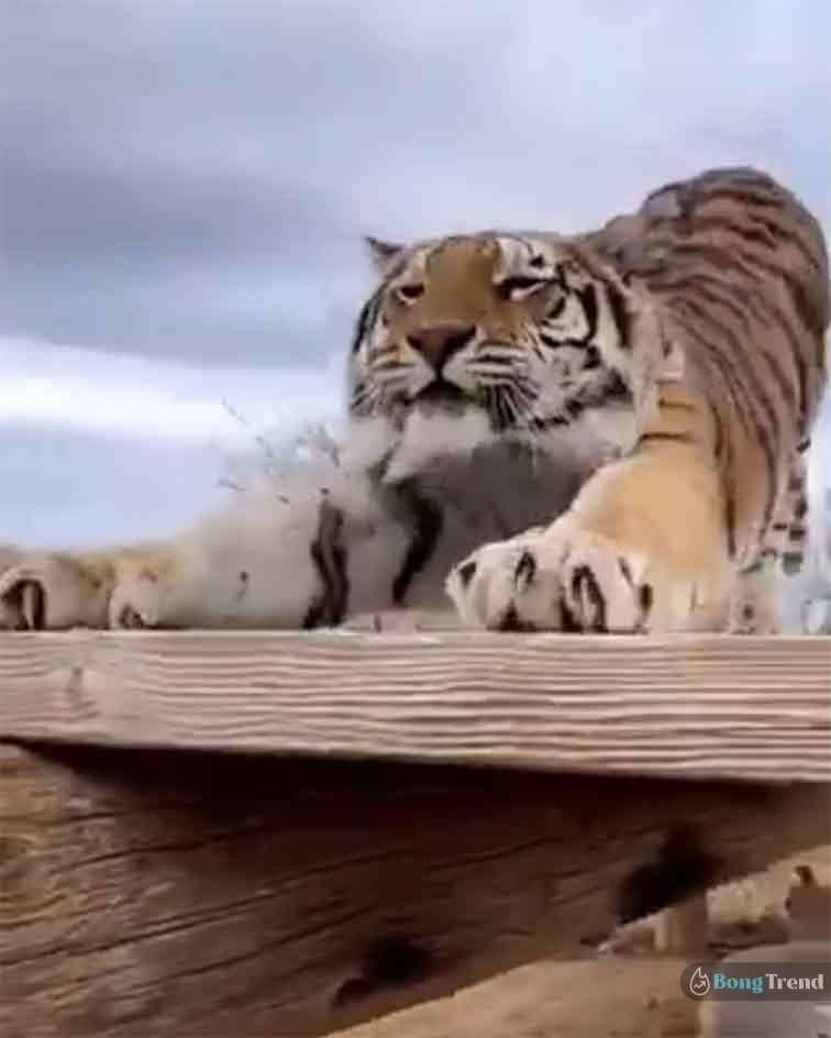 Viral Video Tiger Push Up