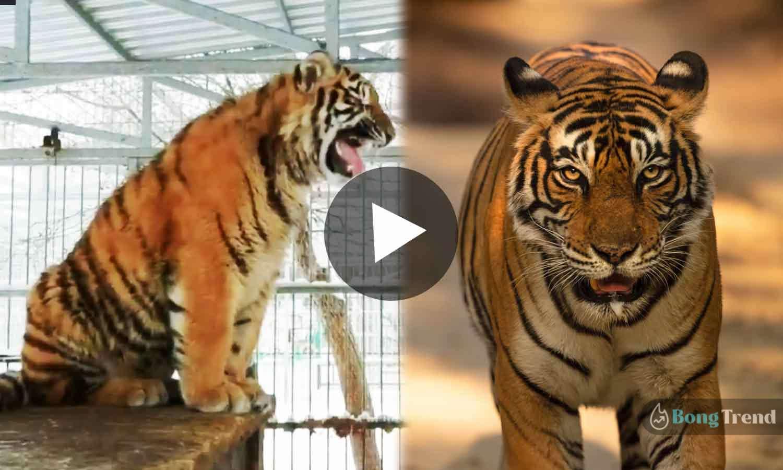 Viral Video Tiger singing