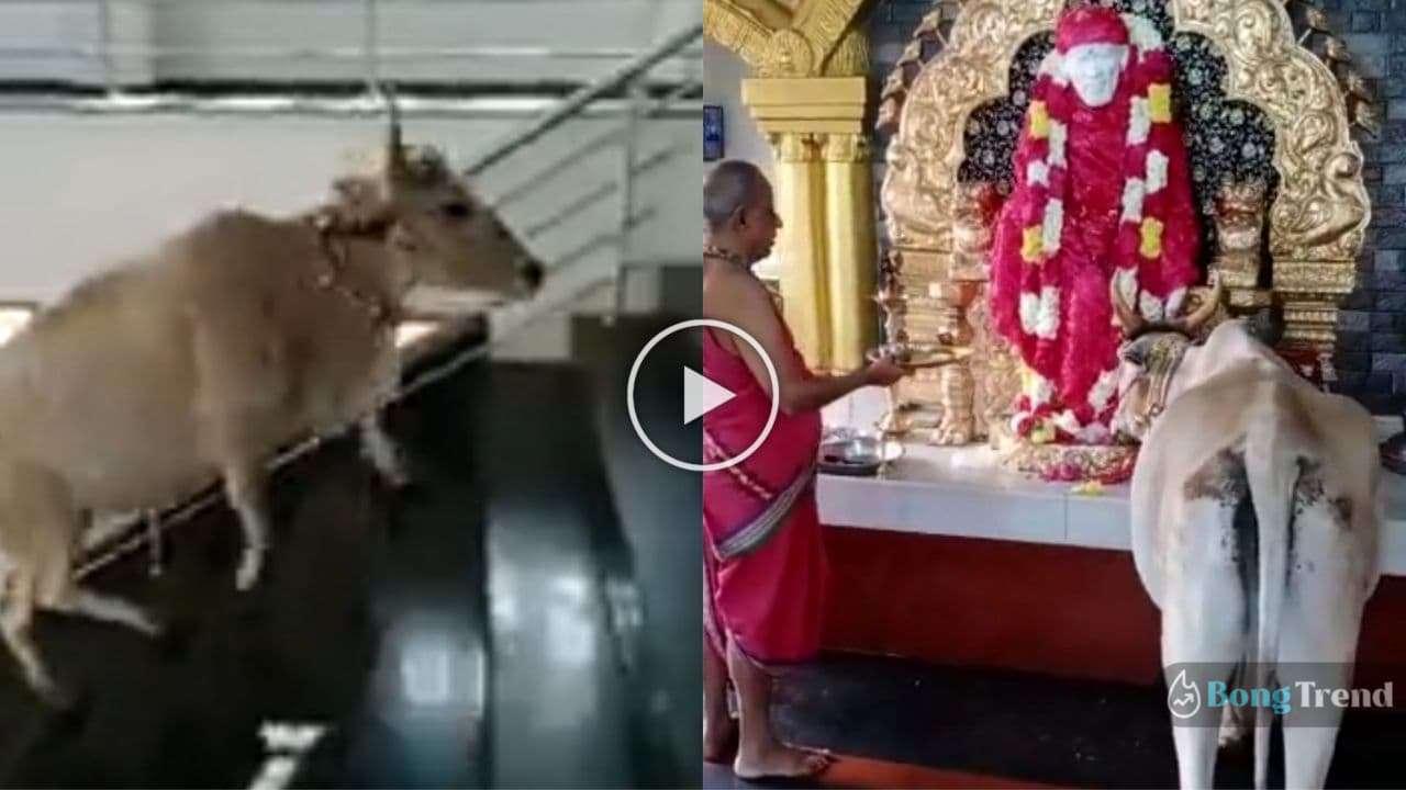 Photo of সাঁইবাবার পুজোর সময় সিঁড়ি ভেঙে উঠে এলো গো-মাতা! ভগবানের সাথে পুজিত হল গোরুও