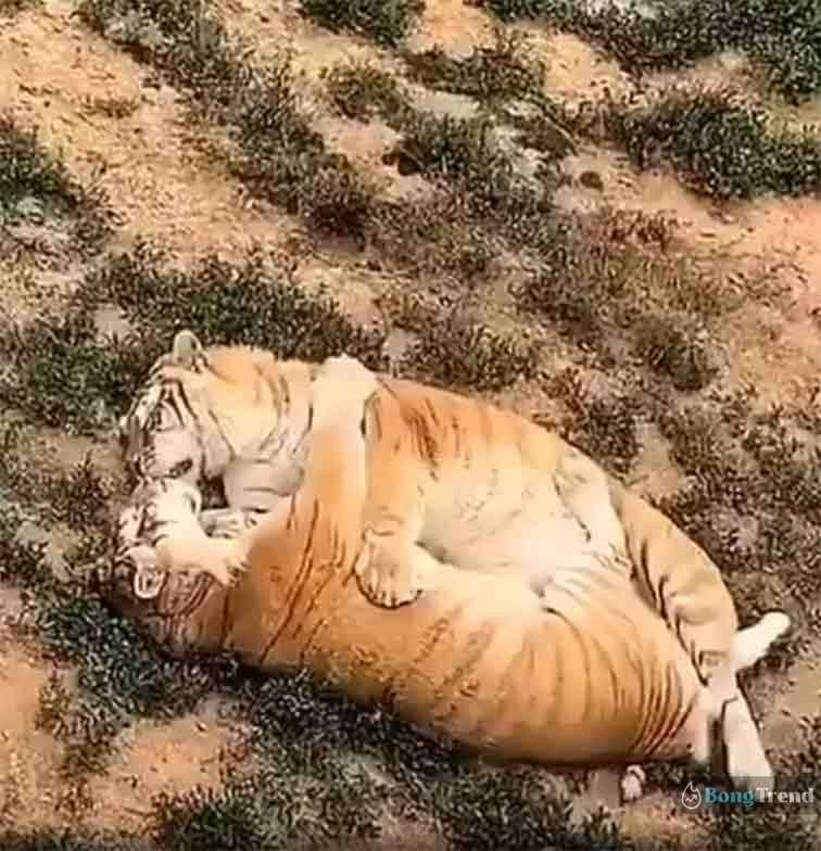 Viral video of tiger romance
