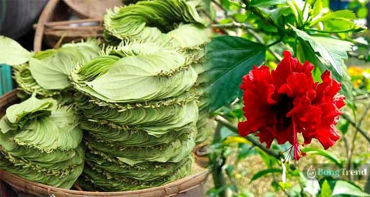Paan Leaf Jaba